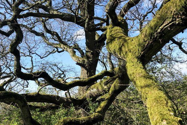 oak-reaching