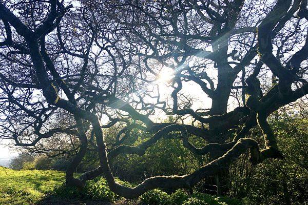 oak-reaching-dusk-web