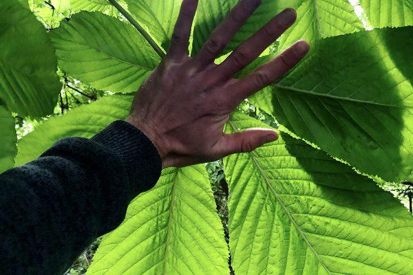 horsechestnut-palm