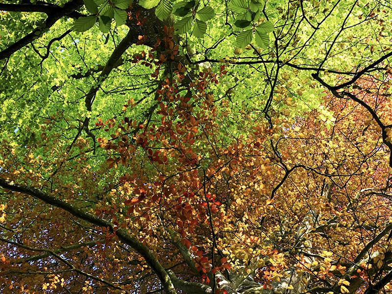 Copper Beech – The Phantom Tree