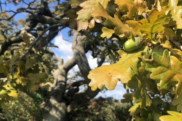 wiggly-oak-autumn