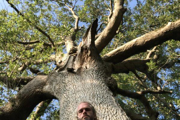 great-white-ash-glastonbury-trees-2