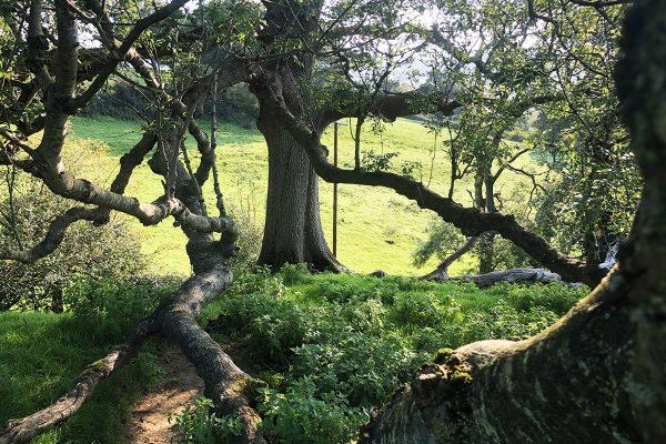 great-white-ash-glastonbury-trees-4
