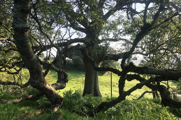 great-white-ash-glastonbury-trees-5
