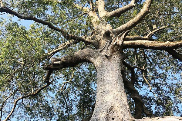 great-white-ash-glastonbury-trees