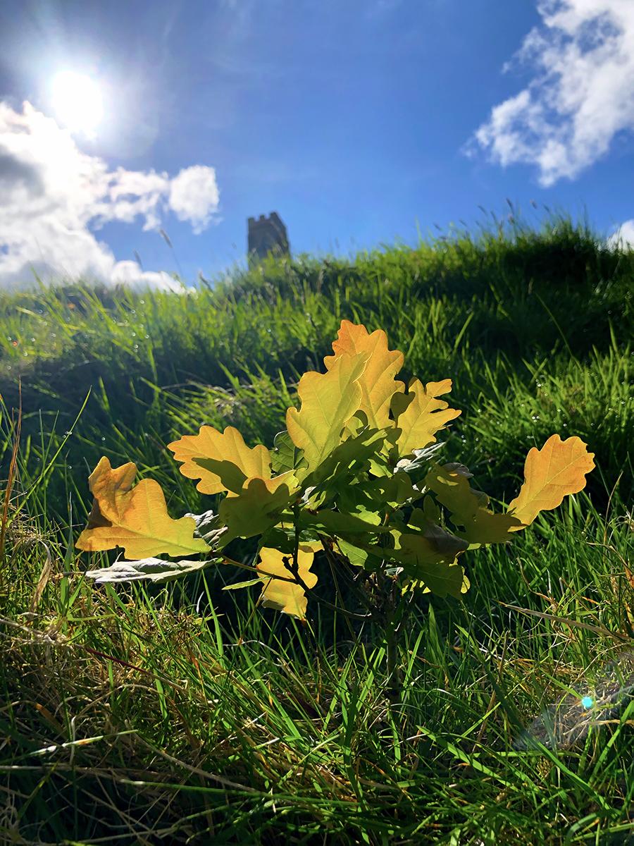 Nature's Treasures – Bonsai Oaks on Glastonbury Tor