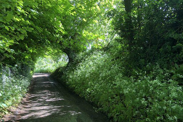 bulwarks-lane-cow-parsley