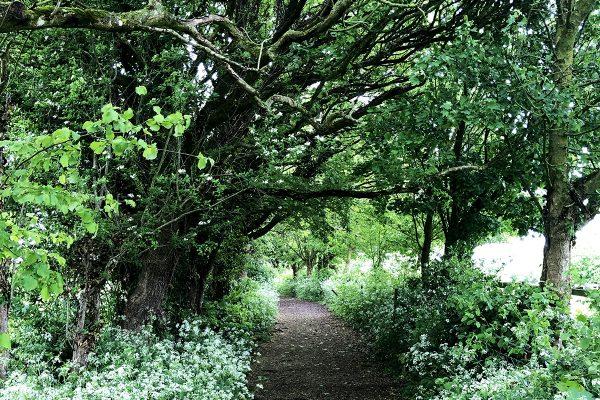 fairy-lane-cowparsley