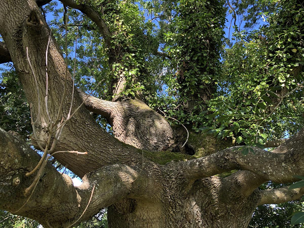 Trees of Glastonbury – The Grail Ash