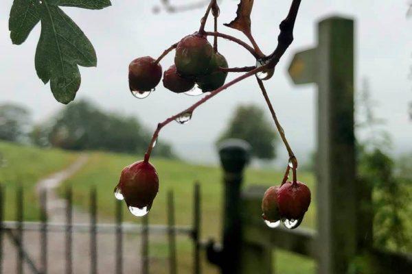 hawthorn-bushy-coombe