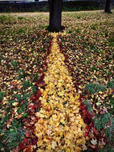 A Golden Path Of Light - Glastonbury Abbey - Norway Maple